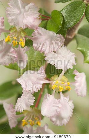 Barbados Cherry (malpighia Oxycocca) Flowers