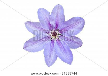 One Flower Purple Clematis Isolated