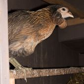 image of hen house  - Portrait of hen in a house hens on the perch - JPG