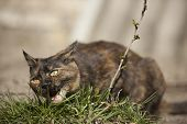 pic of eat grass  - Domestic cat eating grass on the sunset - JPG