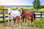pic of bluegrass  - Two manes feeding their young on a farm in Central Kentucky - JPG