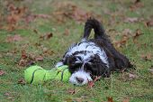 image of toy dogs  - A little brown and white Portuguese water dog puppy playing with a toy outside in Fall - JPG