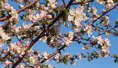 picture of apple tree  - flowering tree Apple tree flower pink leaf spring - JPG