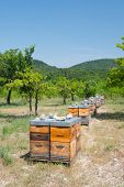 image of bee-hive  - Many bee hives outdoor in orchard - JPG