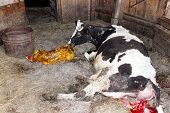 stock photo of calf cow  - cow licking clean its just newborn red calf - JPG