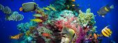 image of fire coral  - Tropical Anthias fish with net fire corals on Red Sea reef underwater - JPG