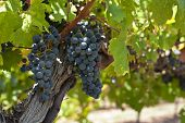 image of vines  - Red vines Red wine orchard with ripe grapes in the sun - JPG