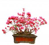 stock photo of bonsai  - Red azalea bonsai isolated on white background - JPG