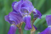 foto of purple iris  - close up of purple iris flowers - JPG