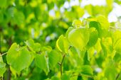 picture of linden-tree  - Linden tree leaves - JPG
