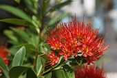 stock photo of southeast  - Bright red tropical flower in bloom Koh Samui Thailand Southeast Asia - JPG
