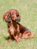 picture of long hair dachshund  - Typical Dachshund Long - JPG