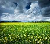 stock photo of rape  - rape field with dramatic clouds in the sky - JPG
