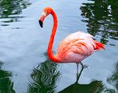 stock photo of pink flamingos  - Pink flamingo bird walks in the water with reflections - JPG
