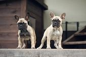 foto of french bulldog puppy  - two adorable french bulldog puppies outdoors in summer - JPG