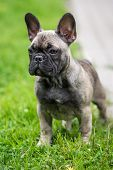 picture of french bulldog puppy  - young french bulldog puppy outdoors in summer - JPG