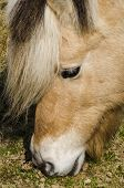 pic of fjord  - Head of Fjord horse grazing on grass on Texel - JPG