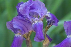 pic of purple iris  - close up of purple iris flowers - JPG