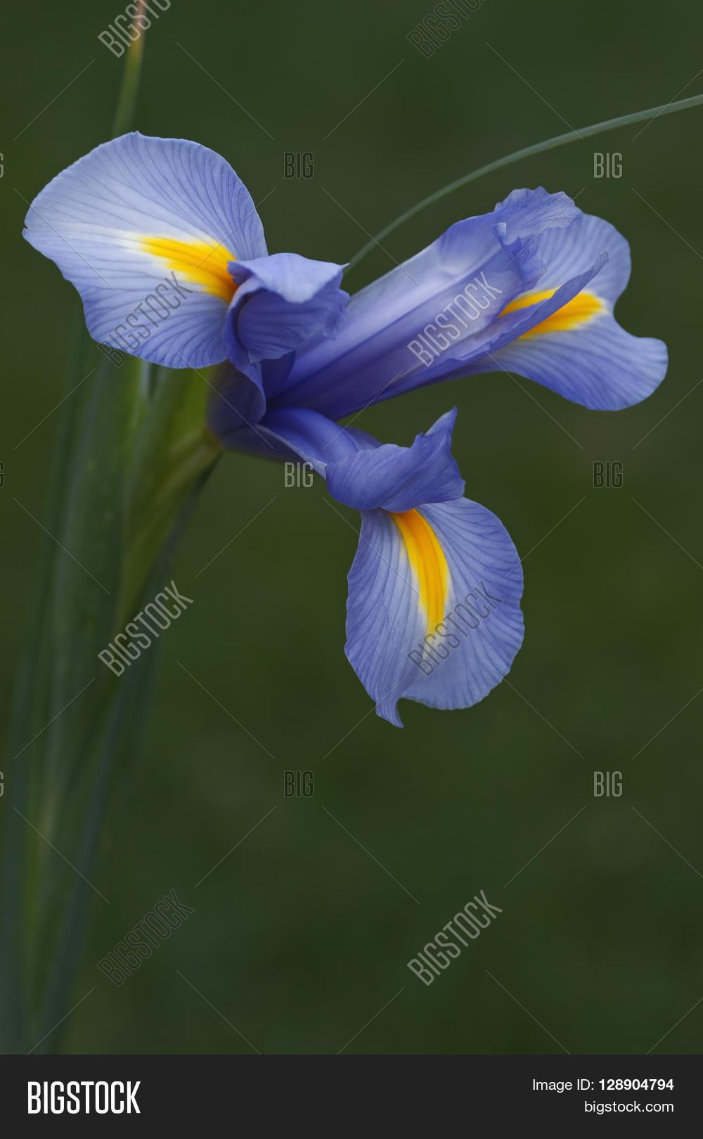Iris X Xiphium