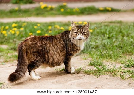 Beautiful pregnant cat walking in the field and looking at camera in summer