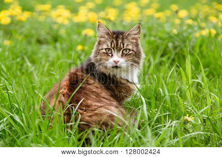 Beautiful alert cat sitting in the field with dandelions and looking at camera in summer
