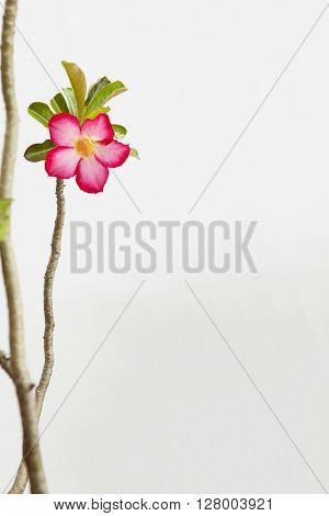 Desert rose or Ping Bignonia in flowerpot isolated on white background.
