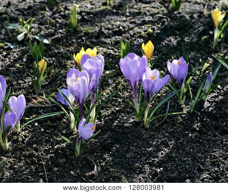 Violet flowers of crocus in the garden in early spring