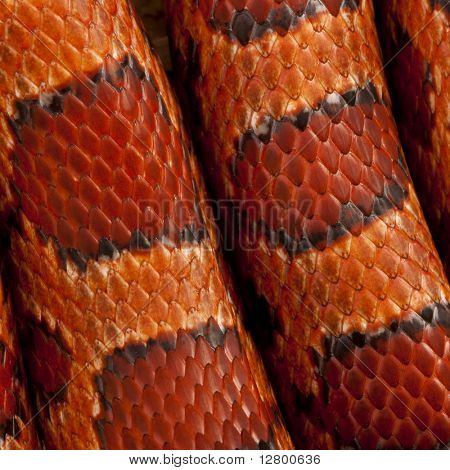 Primer plano de la piel de serpiente de maíz o de piel de serpiente rata rojo, Pantherophis guttattus