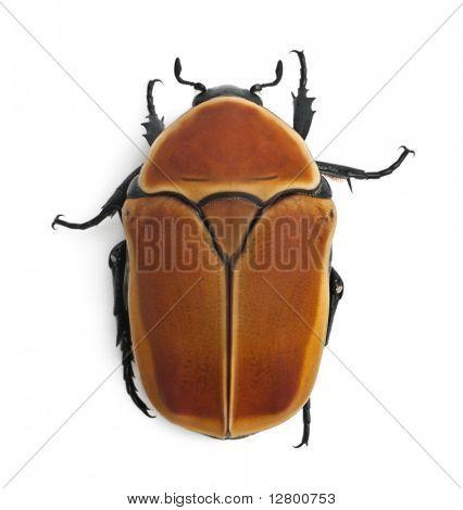 Pachnoda Marginata, eine Art Käfer, Blumen Chafer, vor weißem Hintergrund
