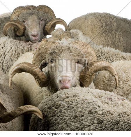 Herd of Arles Merino sheep, rams, in front of white background