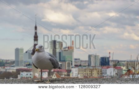 seagull on the background of the city Tallinn