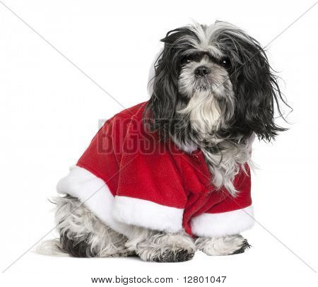 Shi-Tzu in Santa coat, 6 years old, sitting in front of white background