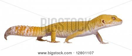 Sunglow Leopard gecko, Eublepharis macularius, walking in front of white background