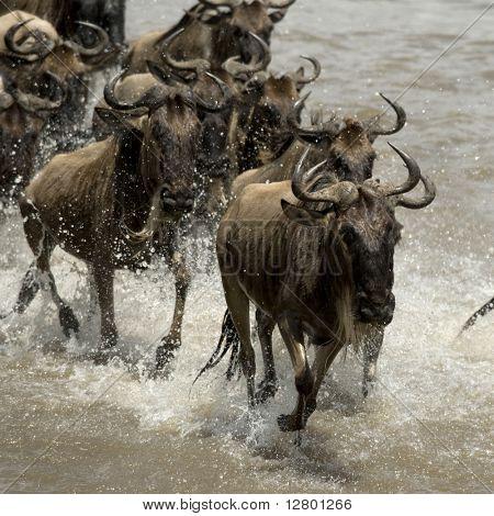 Wildebeest, crossing river Mara, Serengeti National Park, Serengeti, Tanzania, Africa