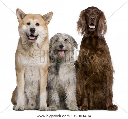 Irish Setter, Akita Inu and Pyrenean Shepherd dog, 4 years, 5 years, and 7 months old, in front of white background