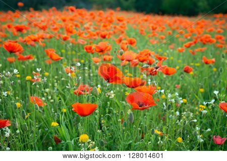 Meadow of bright poppies in spring morning. Cyprus.