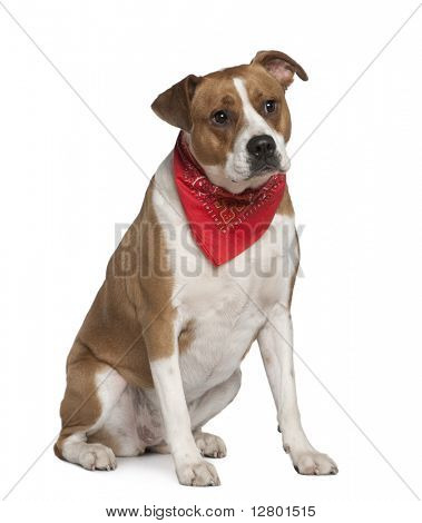American Staffordshire terrier wearing handkerchief, 5 years old, in front of white background