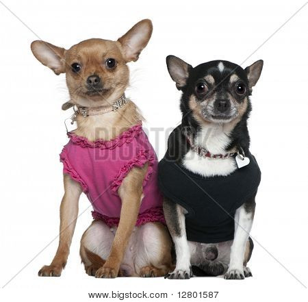 Two dressed Chihuahuas, 9 years old and 18 months old, sitting in front of white background