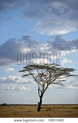 Tree and landscape of Serengeti National Park, Serengeti, Tanzania, Africa