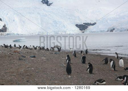 Gentoo Penguins On Shore