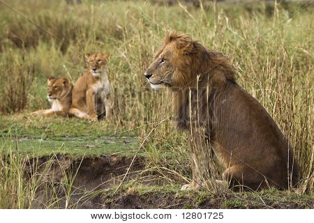 Adult lion sitting and two lionesses in the background, side view