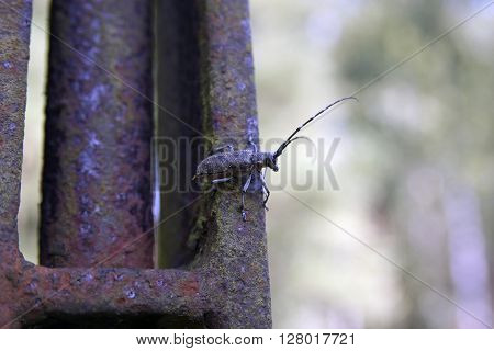 Bug monochamus galloprovincialis on rusted iron metal summer