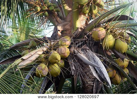 Coconuts on the palm tree. Shooting at eye level