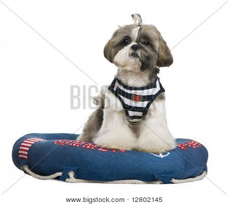 Shih Tzu, 18 months old, standing in lifebelt in front of white background