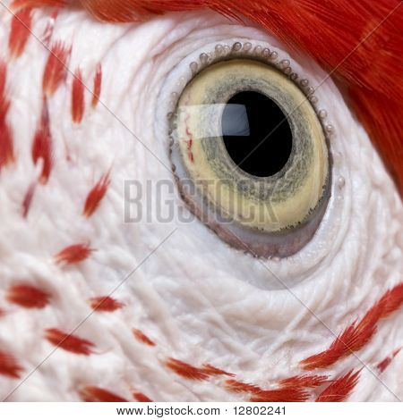 Red-and-green Macaw, close up on eye