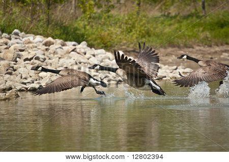 Tres gansos de Canadá que despegaba de un estanque