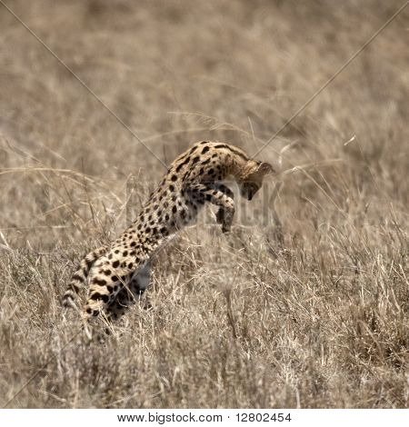 Serval leaping in Serengeti, Tanzania, Africa