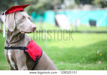 Dog wearing an academic cap during canine graduation