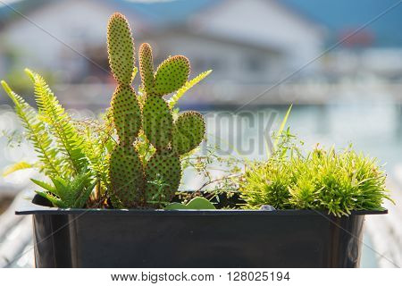 Prickly Pear Cactus In The Morning Sunlight