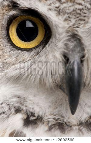 Close-up of Great Horned Owl, Bubo Virginianus Subarcticus